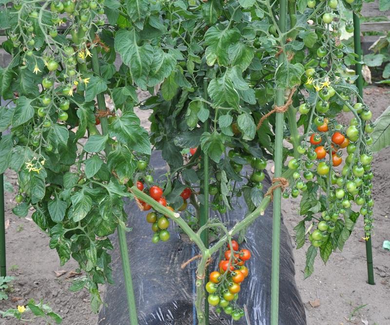 仕立て ミニ トマト 2 本